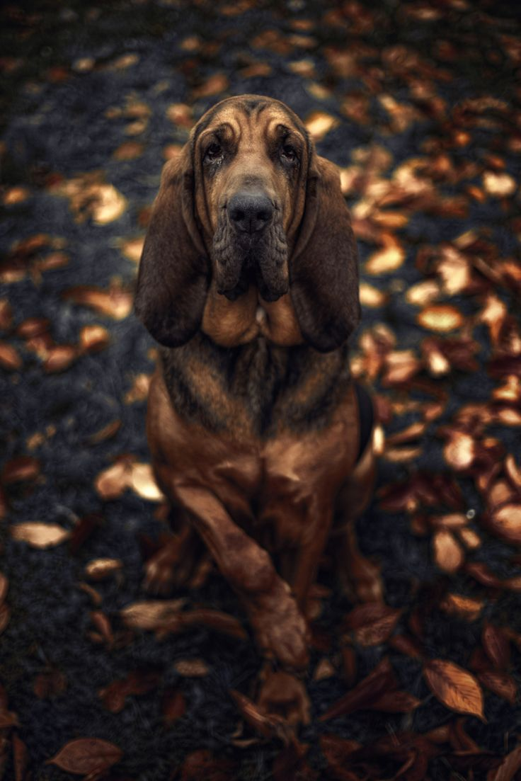"Bloodhound Dog:  ""When sunshine yawns and summer ends: Autumn brings us harvest friends.""       (Photo By: Mica Payage.)"