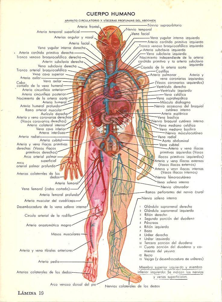 Cuerpo humano Aparato circulatorio y vísceras profundas