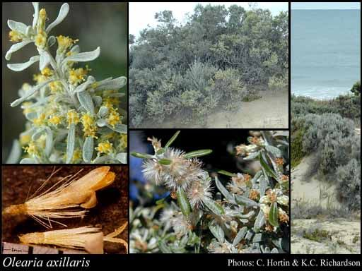 Olearia axillaris 0.5-3m x 1m, well drained sites, ideal coastal, often found in exposed sand dunes