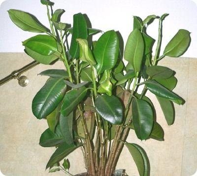 10 piante d'appartamento che ripuliscono l'aria di casa. - ficus-elastica