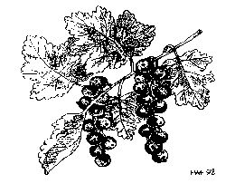 Black Currants: Currant seeds germinate if stratified for three to four months at temperatures just above freezing. Seedlings are prolific and do not vary much from parent. Bushes grown from seed bear when two or three years old.  Currants are easily propagated by hardwood cuttings of one-year old wood. Take one-foot cuttings of dormant wood in late winter, dip the base in rooting hormone and pot in ordinary soil. Cuttings will quickly root and are best kept in part shade for the first year.