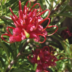 Grevillea obtusifolia  Fast growing ground cover with pink red flowers.  Dense bushy foliage and very hardy.  Frost and drought tolerant once established.  Prefers a full sun to part shade position. Bird attracting. Reccomended by yates for sloping gardens