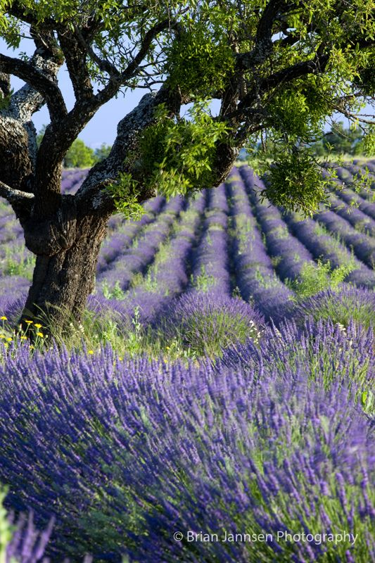 Lone tree in field of lavender near Valensole, Provence France. © Brian Jannsen Photography