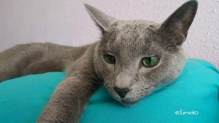 My little #russianblue #cat boy
