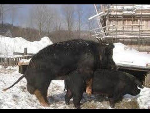 Lustiges Schwein Paarung mit großen Schweine Compilation