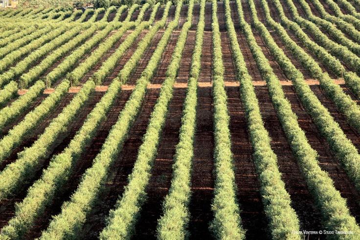 #VENTERRA. Migliaia di piante di #olivi #innestati con il #GPS