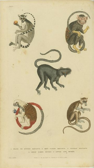 Various monkeys and lemurs by peacay, via Flickr