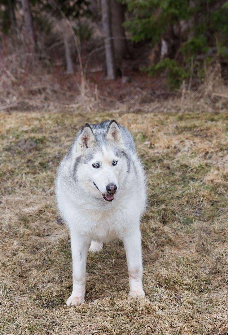 Siberian Husky dog for Adoption in Ashland, WI. ADN-510715 on PuppyFinder.com Gender: Male. Age: Senior