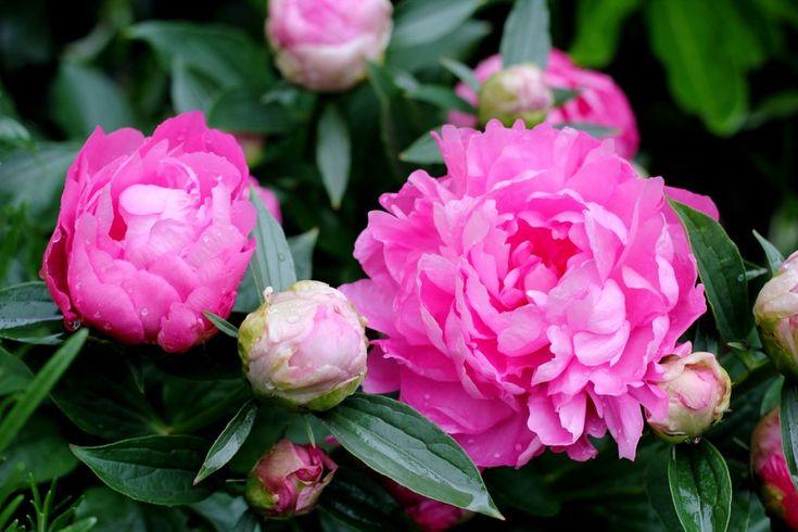 Rosa peoner - nydelig i den romantiske hagen. Foto: Colourbox