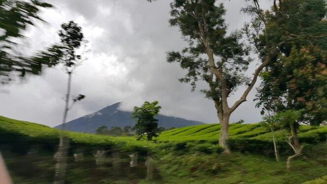 Tea farm pagar alam @southsumatera