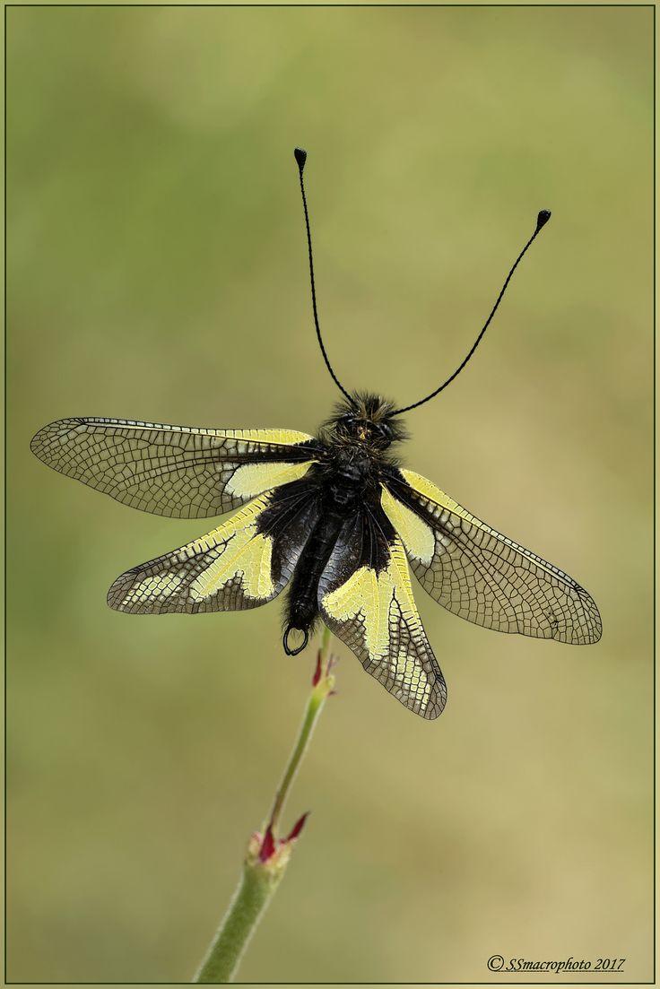 https://flic.kr/p/UNvykC | Libelloides coccajus | Libelloides coccajus ([Denis & Schiffermüller],1775) Neuroptera Ascalaphidae
