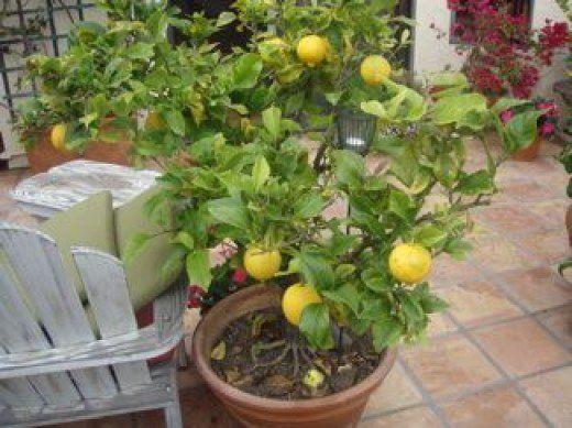 The 25+ best Indoor fruit trees ideas on Pinterest | Indoor lemon ...
