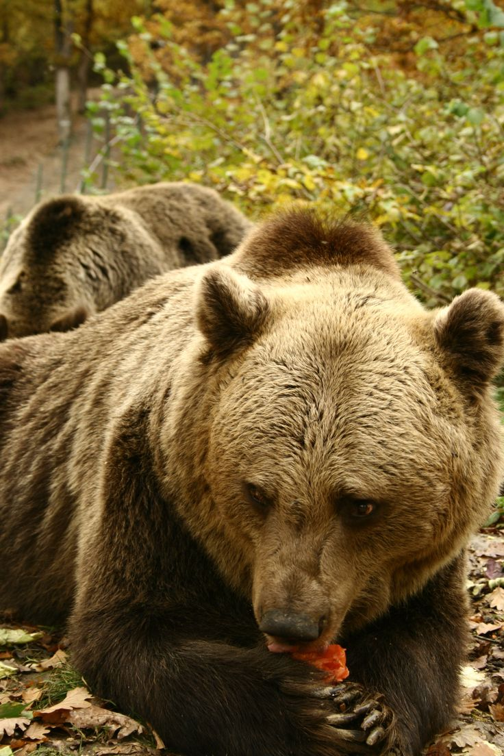 All About Brown Bears by boexx044  |Brown Bear Food