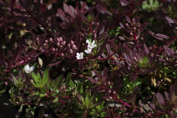 Myoporum parvifolium Purpurea  An Australian native, evergreen, matting, prostrate ground cover with small white, star flowers produced in Spring and Summer above attractive purple, tinged foliage which deepens in colour during Winter. Fast growing