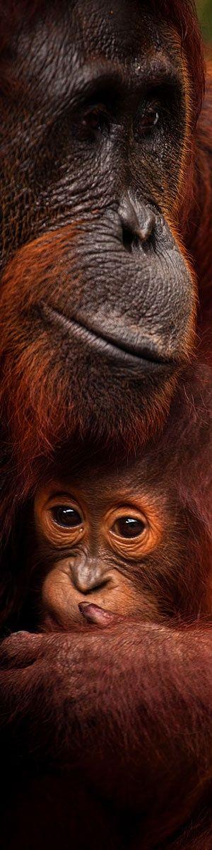 Orangutan mother with baby in Borneo