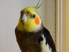 Pássaro, Calopsita, Macro, Colorido