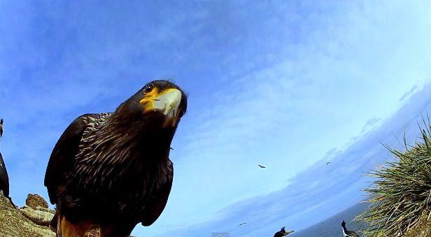 un faucon vole un oeuf caméra et filme depuis les airs - http://www.2tout2rien.fr/un-faucon-vole-un-oeuf-camera-et-filme-depuis-les-airs/