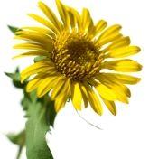 Grindelia - Grindelia robusta Nutt. Famiglia: Asteraceae Parti Utilizzate: Sommità fiorite