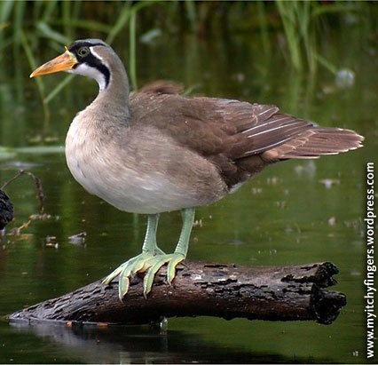 The Masked Finfoot is an endangered aquatic bird from the fresh & brackish wetlands of southeastern Asia, Indochina, Malaysia, & Indonesia; & could be found in forests, wooded savannahs, flooded forests, & even mangrove swamps. They feed on aquatic invertebrates, such as mayflies, dragonflies, crustaceans, snails, fish, & amphibians. Their population is at an estimate of fewer than 2500 birds due to human disturbance & habitat loss. Luckily, they are protected in Malaysia. | Wikipedia