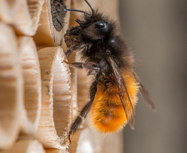 Comment aider les abeilles sauvages, ces insectes inoffensifs, très utiles à la pollinisation des fruits et légumes ? En les accueillant dans votre jardin dans à une jolie maisonnette baptisée Beehome. Une projet lancé en Suissepar Wildbiene + Partner (Abeilles sauvages et partenaires en français). Le concept arrive en France, découvrez-le et installez une Beehome dans votre jardin.