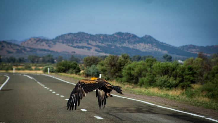 Wedge tailed eagle caught on the spot