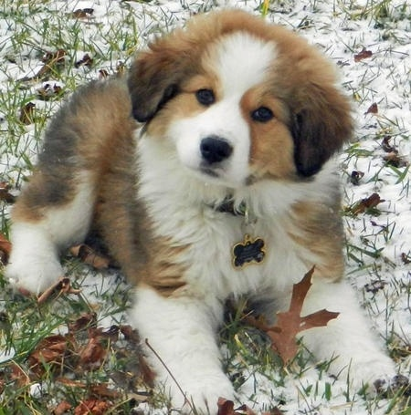 If we breed Juno (Bernese Mountain Dog) with Gus (Great Pyrenees) this is the little guy we'd end up with. How stinking CUTE! They're called Great Bernese. We may have to do this.