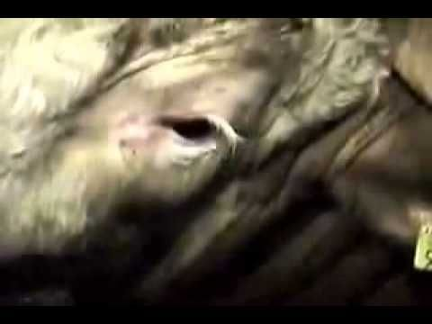 Cow cries seconds before being slaughtered - the poor soul - we have alot to answer for!!!