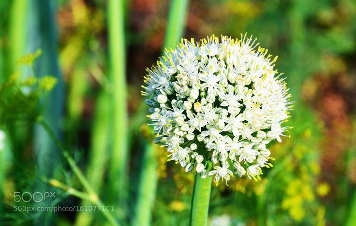 Pic: Цветы лука репчатого