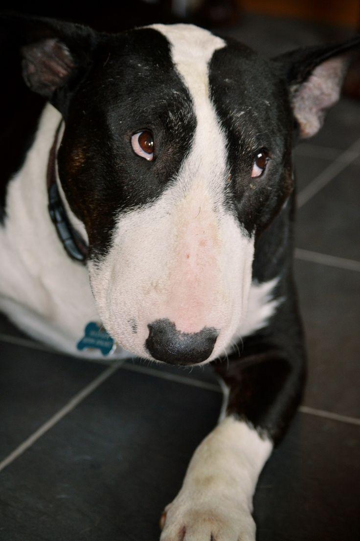 17 Terbaik Ide Tentang Bull Terriers Di Pinterest Anjing Terrier
