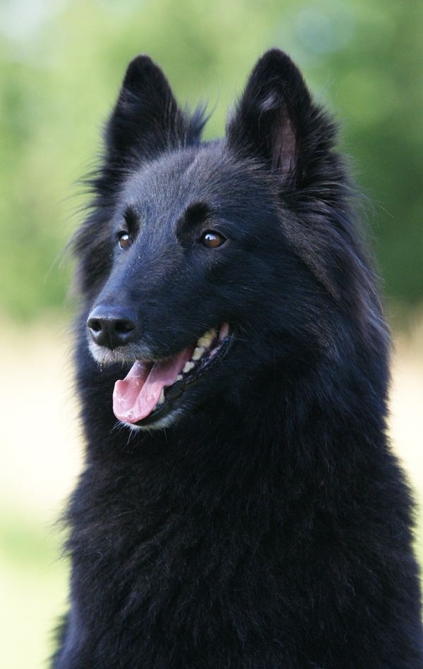 "Belgian shepherd groenendael. Our family dog, ""Inky"" was this breed. Very loyal and protective. She died at 13 years of age in 1962. RIP"
