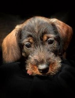 I have vowed that my next doxie will be a wire haired!!  ❤