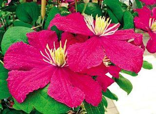 садовые цветы: КЛЕМАТИС - ИЗУМИТЕЛЬНОЕ УКРАШЕНИЕ ВАШЕГО САДА
