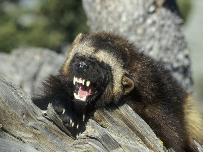 Wolverine Animal | Wolverine, Snarling in the Foothills of the Rocky Mountains, USA