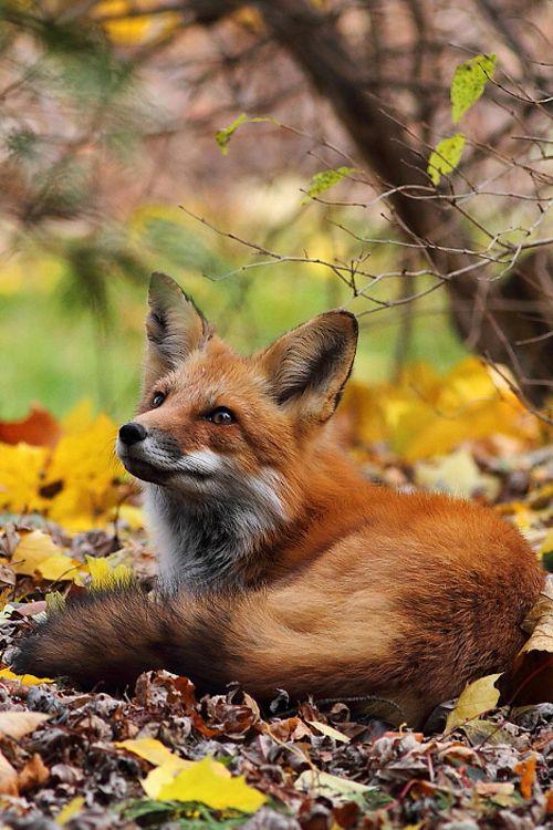 Fox in the leaves ~ By Ann Brokelman