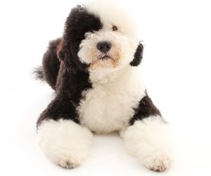 Learn all about the Portuguese Water Dog, a non-shedding dog breed that is great with kids.
