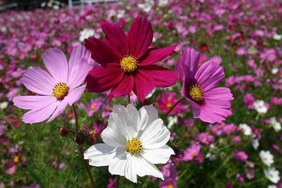 Cosmos Mix 30 Seeds Cosmos Bipinnatus Garden Cosmos Etsy In 2020 Cosmos Flowers Cosmos Plant Backyard Flowers