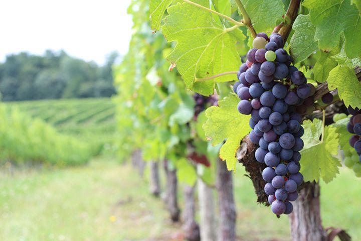 ワイン初心者が知っておくべき4つの赤ワイン用ぶどう品種