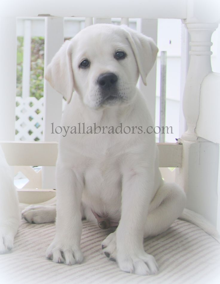 white English Lab puppies & White Labrador Retriever puppies.  Our white Labrador puppies for sale are from Champion lines.  We have AKC white Lab puppies for sale & raise an English show bench style Lab puppy.