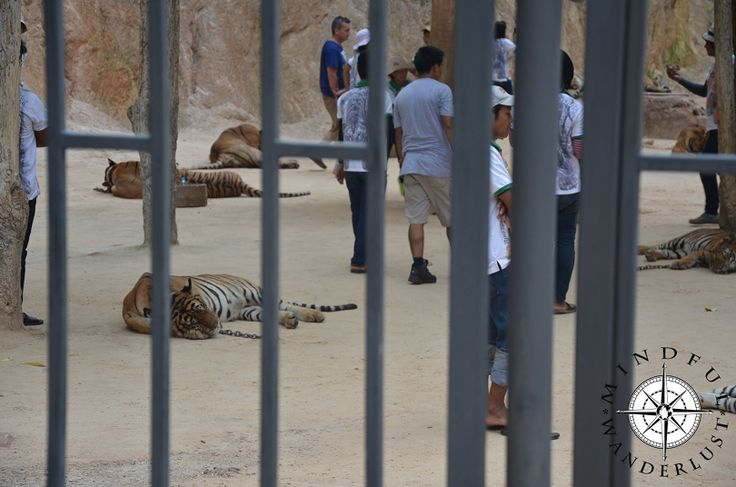 The Terrible Truths from Thailand's Tiger Temples (1)