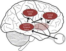 Empathy. Book (Get it @BYU) The human mirror-neuron system. Sensory input is relayed to the premotor cortex ...