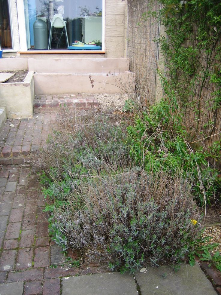 The Lavender was past its best and needed replacing