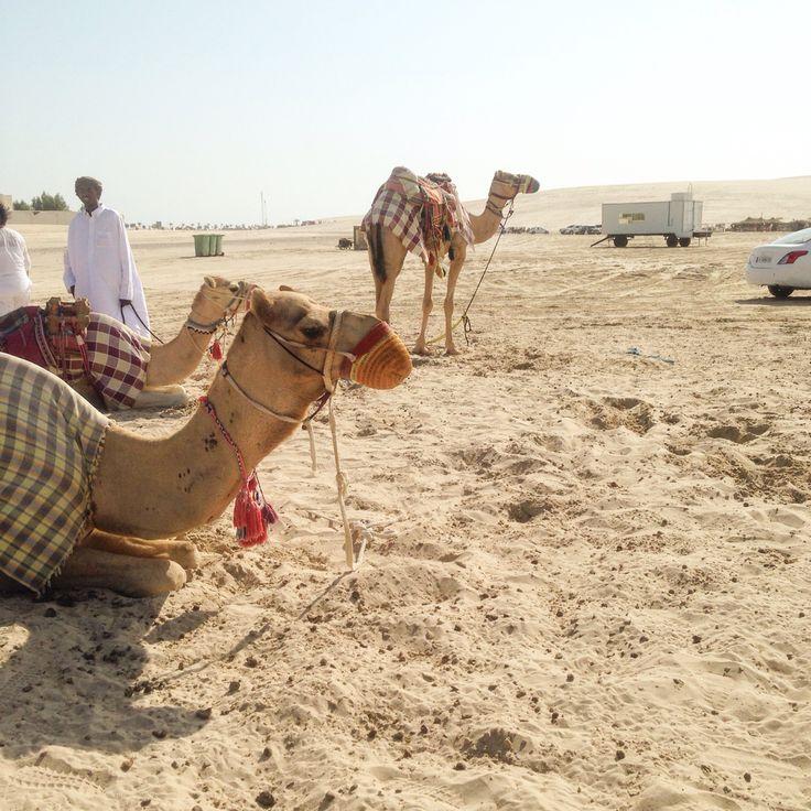 Camels ~ Sealine ~ Qatar