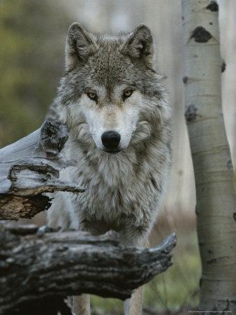 Vintage Grey Wolf Canis Lupus Nature Wolf Sweatshirt HAtrg
