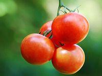 Desatero pro rajčata