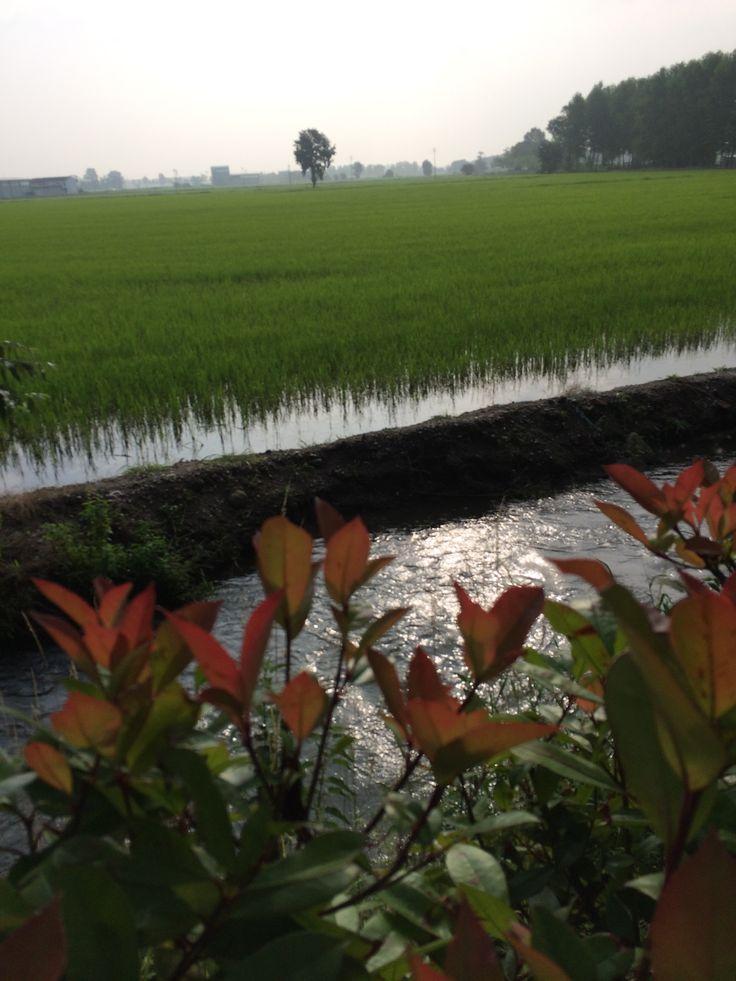 Italian Flooded Parcel of Land. #rice #risogallo #Italian
