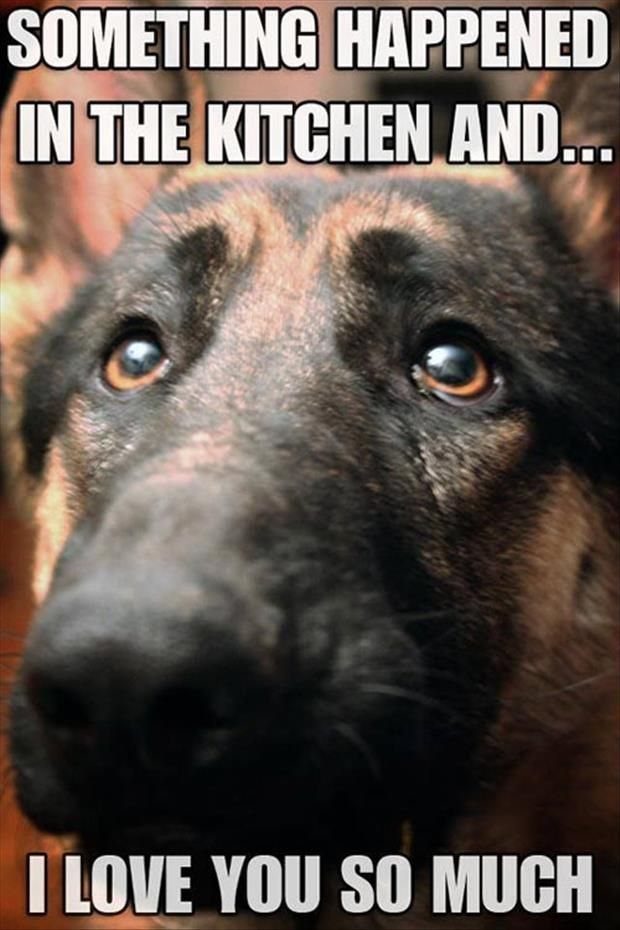 How could you not forgive this adorable German seperd! #DogFunnies #FunnyAnimal #CuteDOg #GermanSheperd #Pets