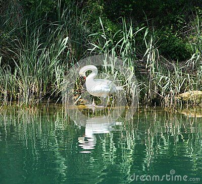 A swan in a lake