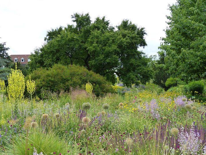 """Massif """"sauges-achillées"""" à Hermannshof en juin, avec Salvia nemorosa et Salvia turkestanica, des têtes fanées d'allium d'ornement, les candélabres jaunes des molènes (Verbascum densiflorum) et des graminées hautes."""