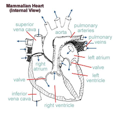 Rabbit heart anatomy