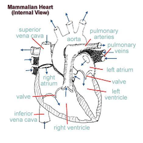 Mammalian heart anatomy worksheet internal